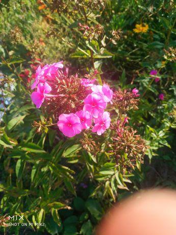 Продам сажанці,багаторічні квіти(флокс,традисканція,дельфиніум,енотера