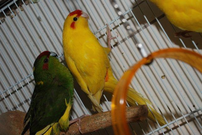 Зеленые, желтые, желто-зеленые какарики, ручные какарики