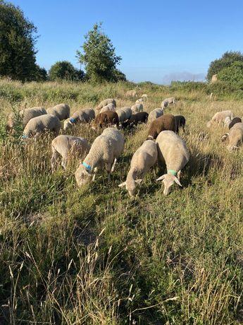 Ovelhas prenhas preco consoante o animal pretendido