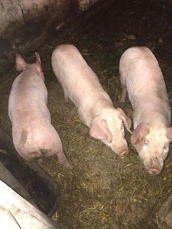 Продам свиней домашніх