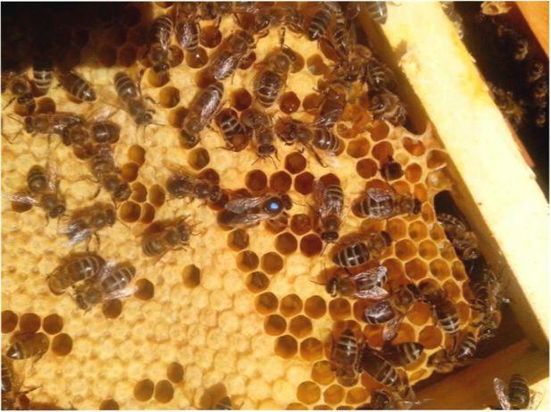 Потомственные- Пчелиные Матки УС Бджоломатки
