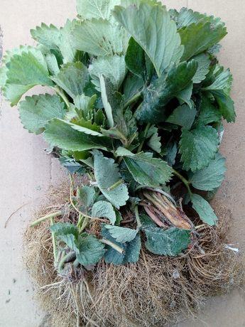 Sadzonki truskawek kwalifikowene różne odmiany
