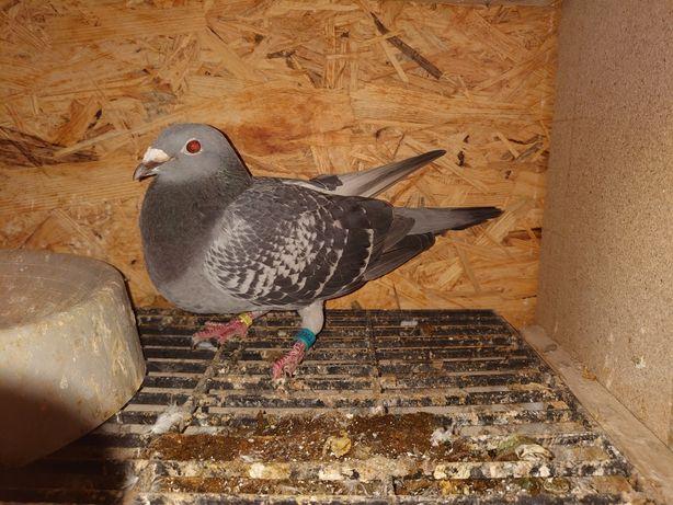 Gołębie pocztowe gołąb pocztowy samica grochowa