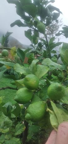 Лимон, цитруси,інжир,бамбук