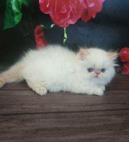 Персидская малышка редпоинт