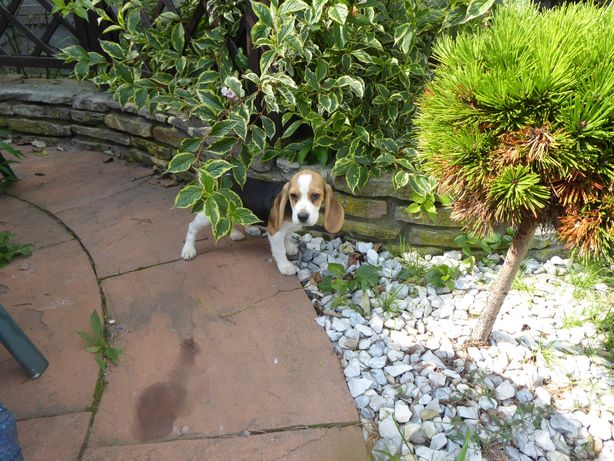 Beagle suczka sprzedam