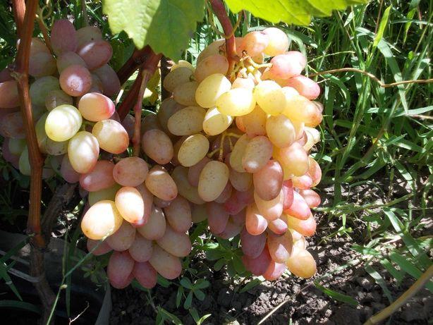 Продаются черенки и саженцы винограда элитных сортов