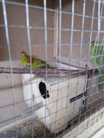 Новозеландський пригаючий попугай какарік.