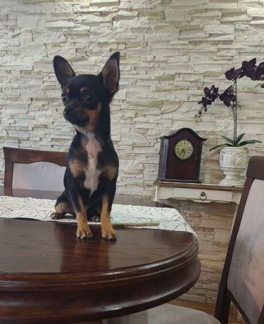 Chihuahua sunia czarna tricolor