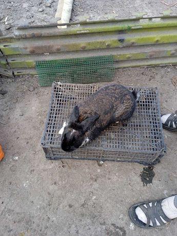 Продам молоду кролицю