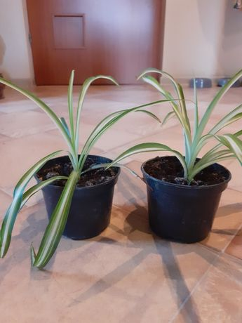 Zielistka roślina 1 sztuka