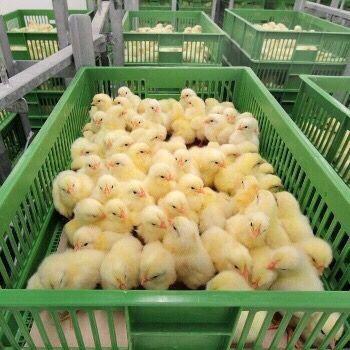 Цыплята бройлера КОББ-500 круглогодично