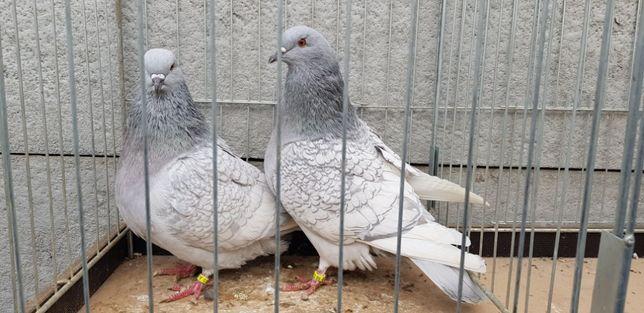 ryś rysie srebrne para rysi gołąb gołębie