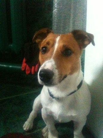 Ищу собаку Джек Рассел Помогите вернуть в семью