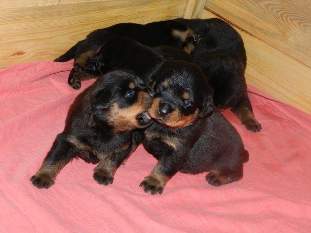 Rottweiler, szczenieta z rodowodem ZKwP (FCI) po championach