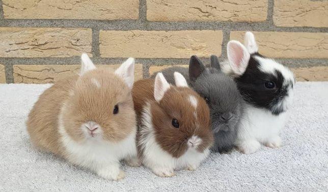 KIT Coelhos anões mini holandês e teddy lindíssimos e muito dóceis