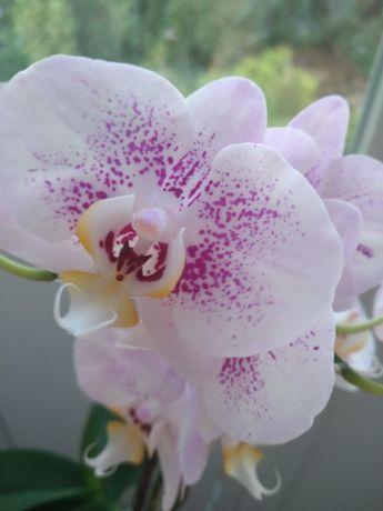Орхидея/фаленопсис