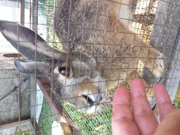 Продам зайцев