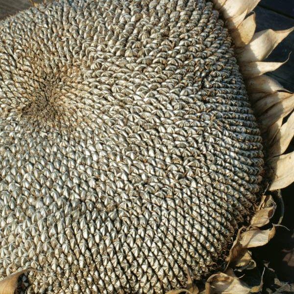 nasiona Słonecznik Jadalny Paskowany Gruby (Helianthus Annuus L.) 1 kg