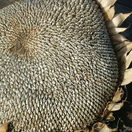 Słonecznik Jadalny Paskowany (Helianthus Annuus L.) 1 kg - 6000 nasion