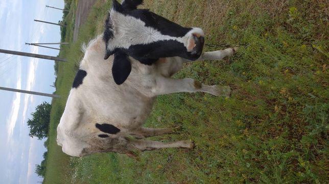 Теличка на корову