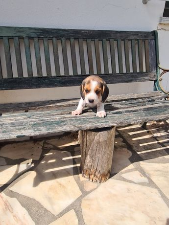 Beagle macho magnífico