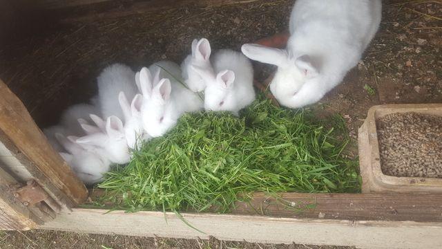 Młode króliki nowozelandzkie!