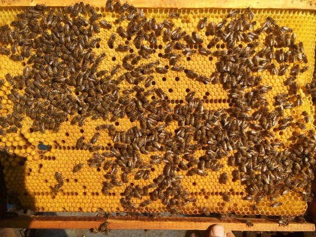 Пчелопакеты Карника Тройзек (Carnica Troisek) 2021г.