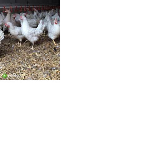 młode nioski kury rasy Sandy, Leghorn (19tygodni)