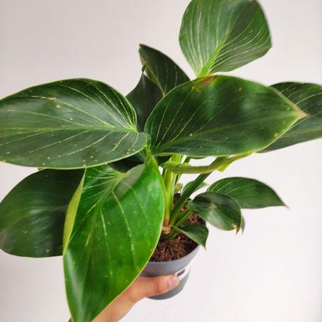 Filodendron, Philodendron Birkin