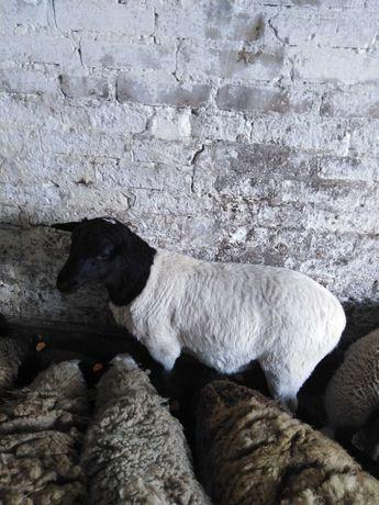 Sprzedam owce rasy Dorper