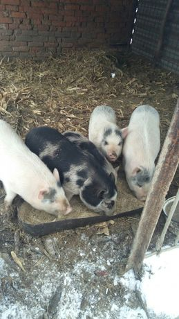 свині в'єтнамки мангали кармали мясо