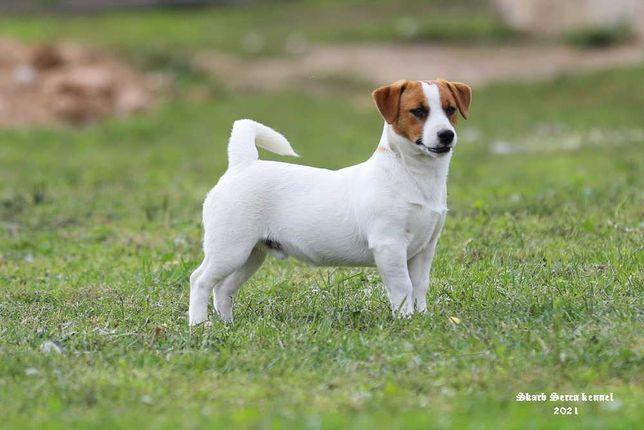 Szczeniak Jack Russell Terrier FCI, piesek