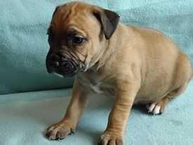 Szczeniaki American Staffordshire Terrier,Suczka