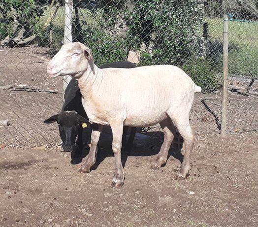 Vendo 3 ovelhas cruzadas