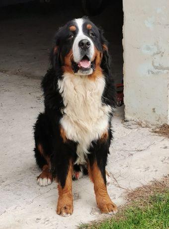 Owczarek berneński pies pasterski
