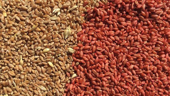 Czyszczenie i zaprawianie nasion zbóż dla gospodarstw rolnych. DOJAZD