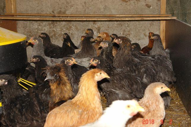 kury koguty brahma kochin olbrzymie czubatka sułtan