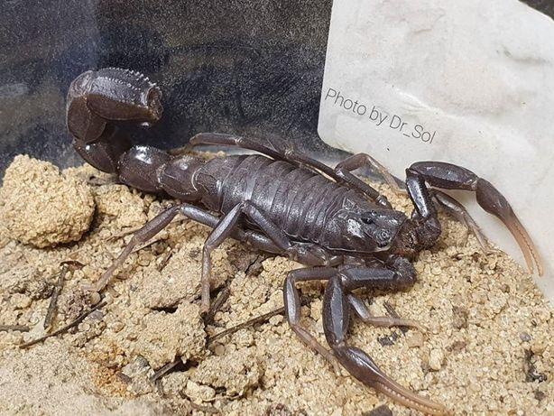 Скорпион Androctonus crassicauda л2