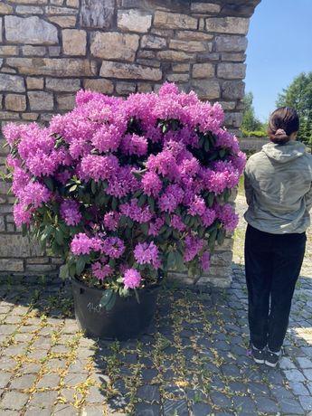 Rododendron wysoki na 1,50 metra