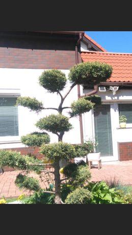 Drzewka Bonsai Całkowicie Mrozoodporne Juniperus Kołobrzeg Dowóz