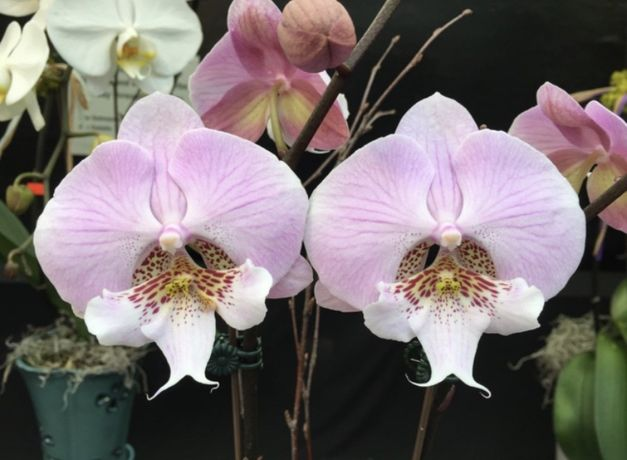 Орхидея 2.5