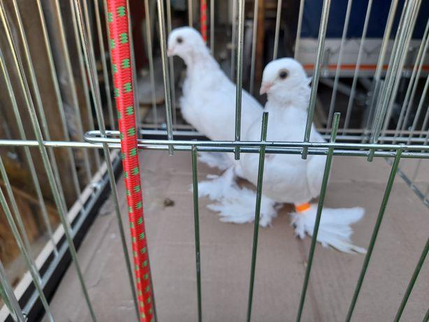 Gołębie ozdobne mewki mazowieckie