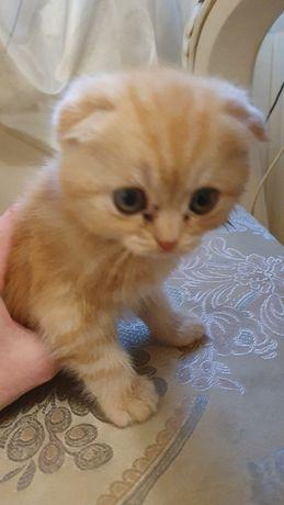 Вислоухий кіт Ужгород