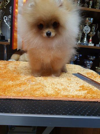 Pomeranian piesek.