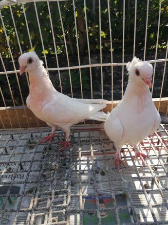 Gołębie ozdobne ptaki