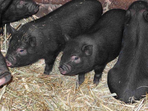 Поросята вьетнамские вислобрюхие, вьетнамцы, вьетнамские свиньи.
