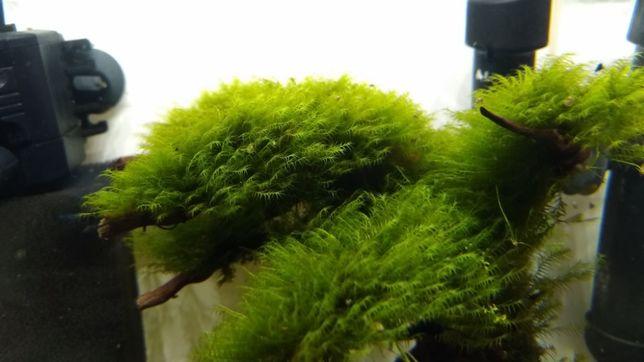 Mech Phoenix Moss