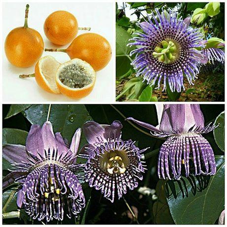 Maracujá Granadilha - Passiflora liguaris