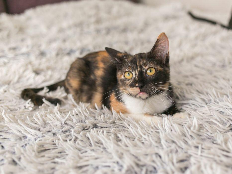Мила, 6 мес, кошка, красивая кошка Киев - изображение 1